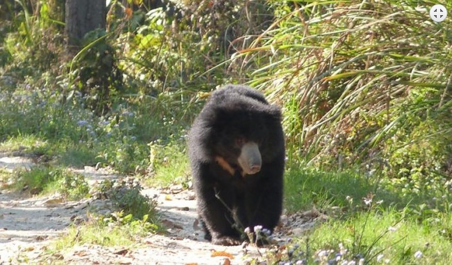 Chitwan National Park | A Black Bear.
