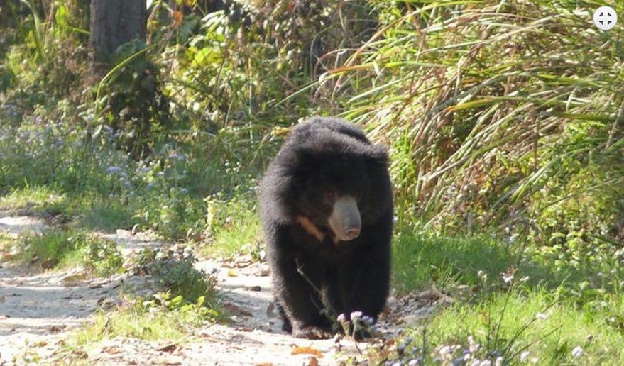 Chitwan National Park | A Black Bear.