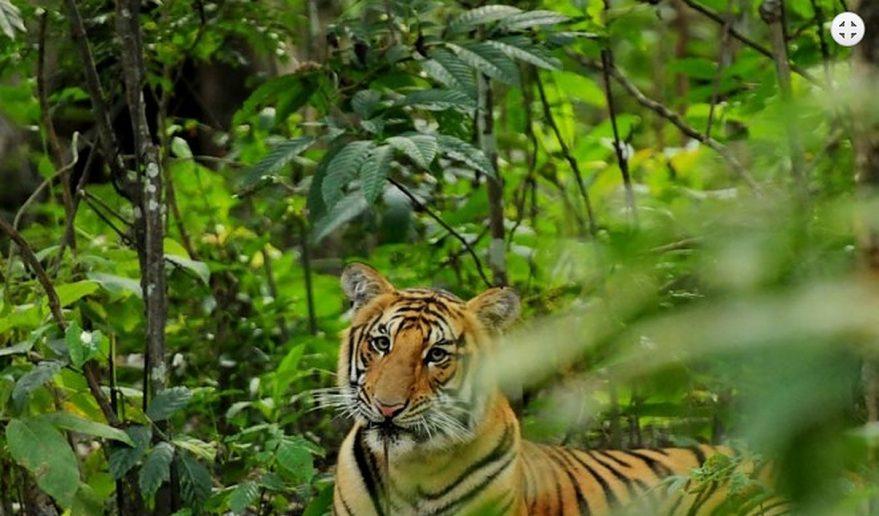 Chitwan National Park | Bengal Tiger at Chitwan National Park.