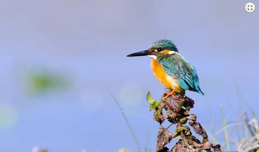 Koshi Tappu Wildlife Reserve | Bird Kingfisher.