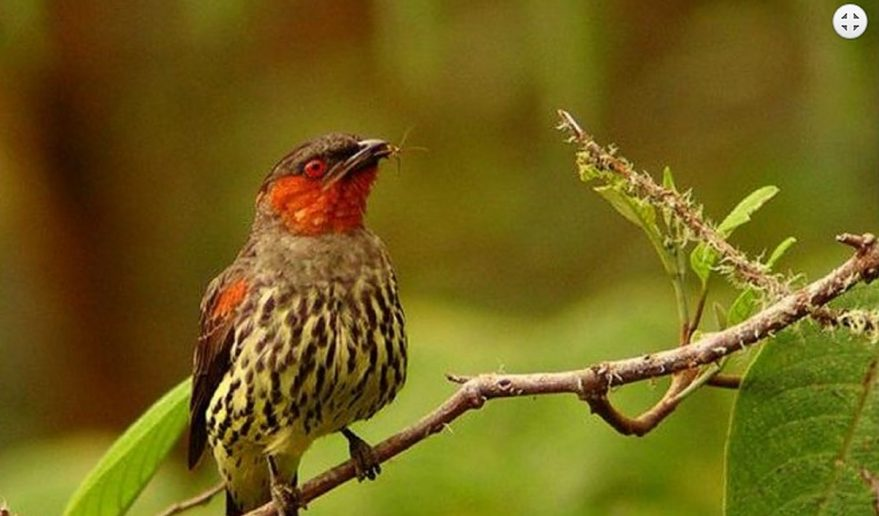 Bird Watching Tour in Nepal | Old world flycatchers