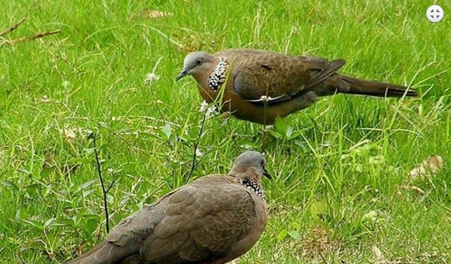 Bird Watching Tour Nepal   Common Wood Pigeon