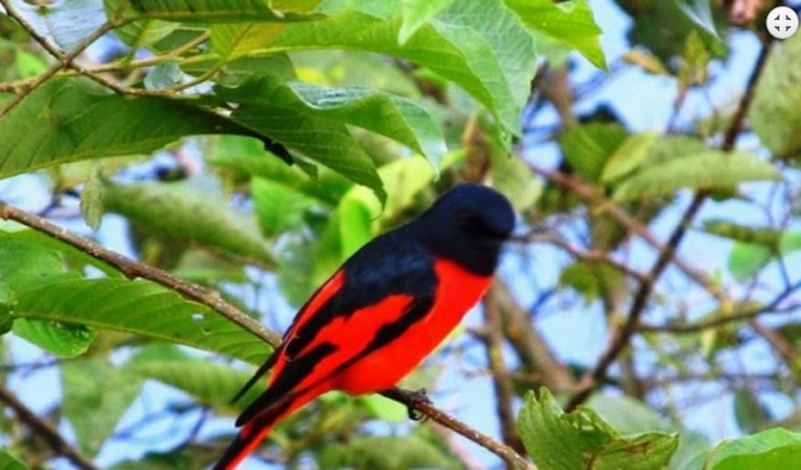 Bird Watching Tours Nepal | Red-Headed Trogon