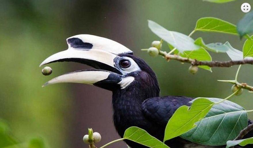 Bird Watching Tours in Nepal   Hornbill