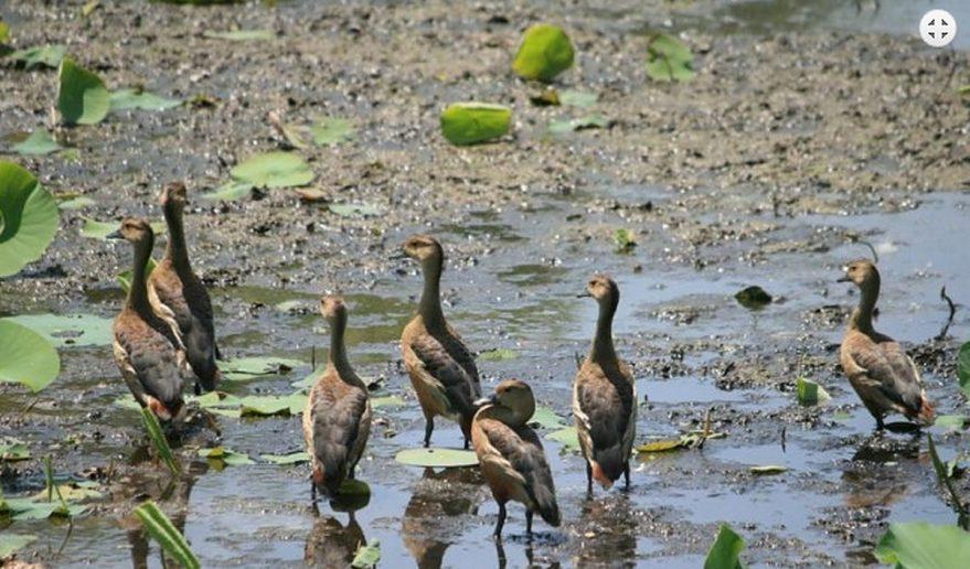 Koshi Tappu Wildlife Reserve | Lesser Whistling-Duck.