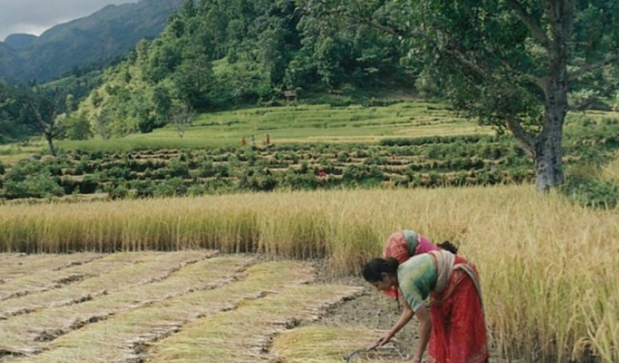 Paddy Field - during Kanchenjunga Circuit Trek