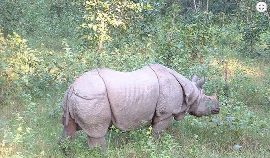 Chitwan National Park | World's rare One-Horned Rhino.