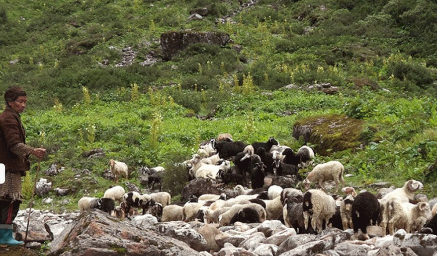sheep herds grazing at Ruby Valley trek