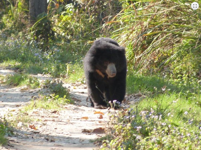 A Black Bear | Chitwan National Park